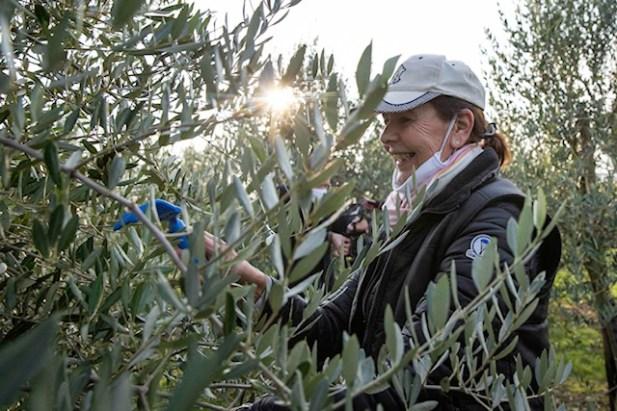 108-Olivenernte.Stommeln