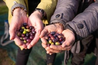 72-Olivenernte.Stommeln