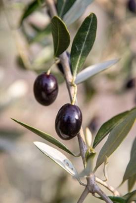 94-Olivenernte.Stommeln