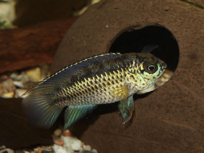 Types Of Cichlids In The Aquarium Hobby Land Of Fish