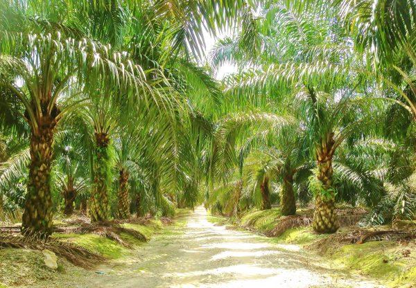 Palm Oil plantation For Sale