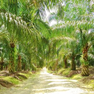 Palm Oil plantation For Sale