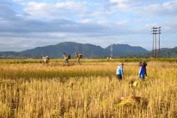 Apatani Rice Field