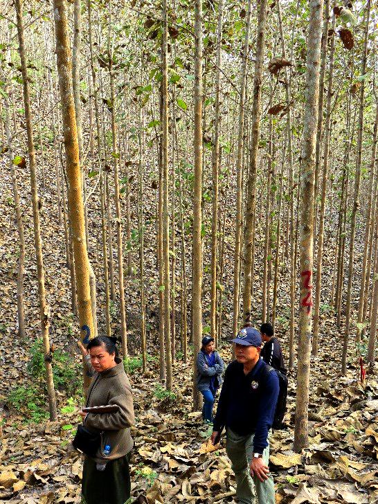 15 year old thinned teak at Ban Densavang