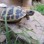 Nachzuchten der Griechischen Landschildkröte