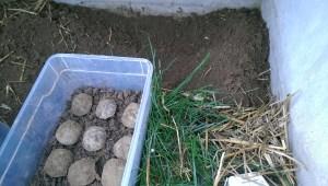 Griechische Landschildkröten Nachzuchten in der Überwinterungskiste