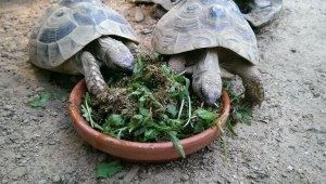 Schildkröten fressen AGROBS Futter gemischt mit Wildkräutern