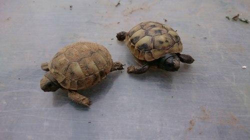 Naturbrut Griechische Landschildkröte