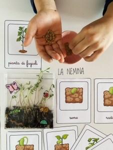 ciclo di vita e nomenclatura delle lenticchie