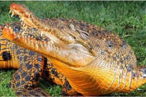 Apodan a cocodrilo 'Trump-A-Gator' (Vídeo)