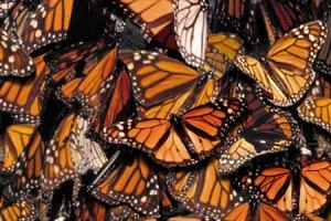 Inauguran en Frankfurt exposición mexicana sobre mariposas monarca