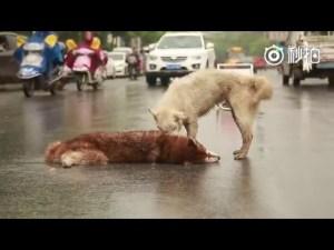 (VÍDEO) Un perro trata de ayudar a su amigo después de que fue atropellado
