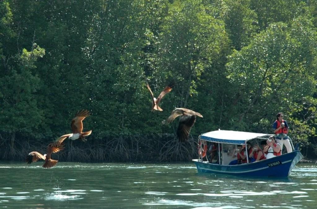Mangrove Tour Langkawi Eagle Feeding