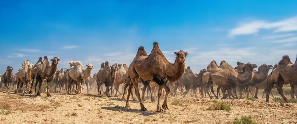 Group of Camels walking in desert