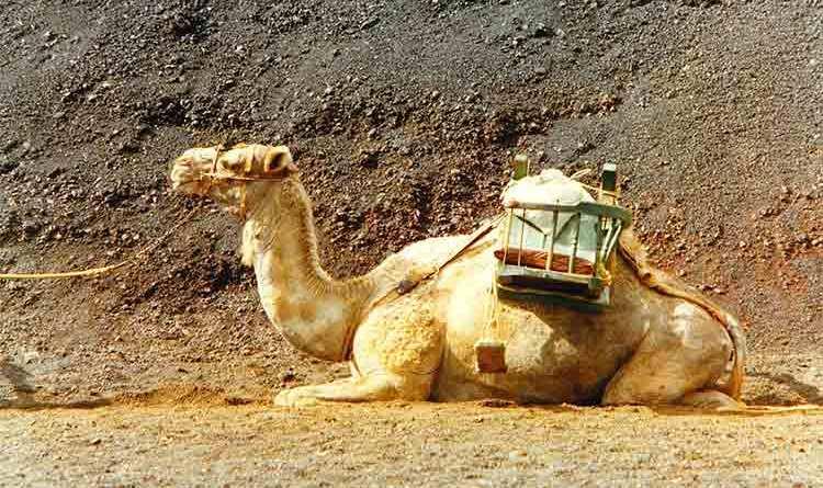 timanfaya camel