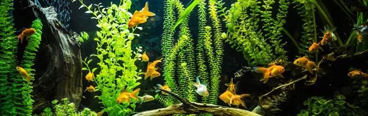 Grand aquarium à poisson rouge