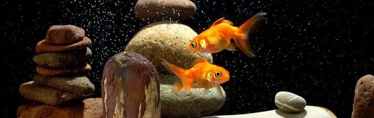 Deux poissons rouges en aquarium