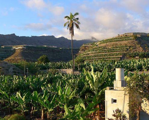 La Palma landbouw, bananen