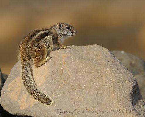 Ardilla moruna, Atlantoxerus getulus, Barbary Ground Squirrel