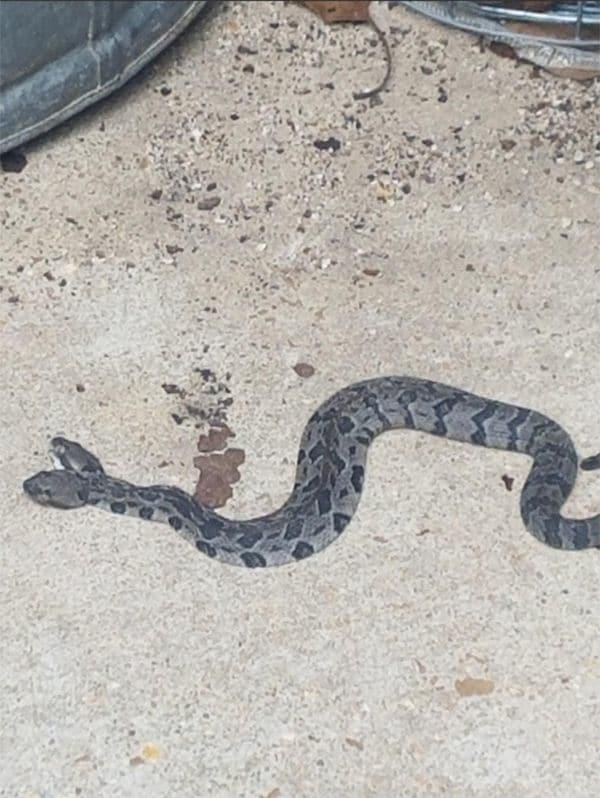 Foto: Una serpiente de dos cabezas fue hallada en Arkansas/ Infobae