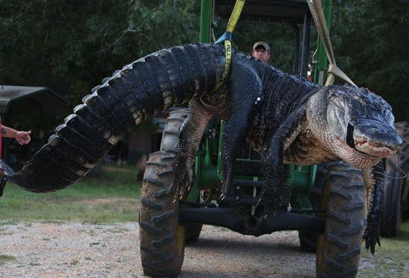 El caimán más grande del mundo2