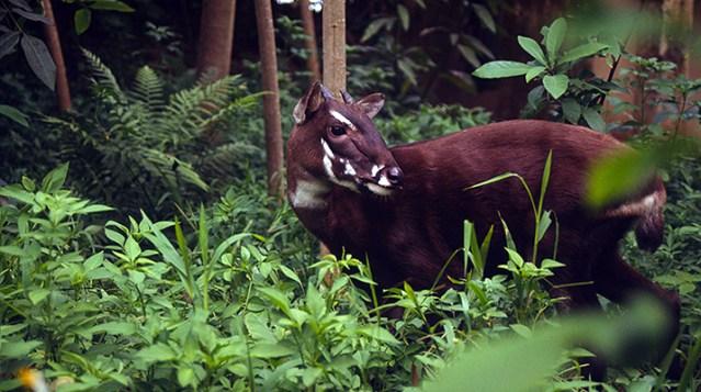 Saola or Vu quang ox (Pseudoryx nghetinhensis); Hanoi, Vietnam