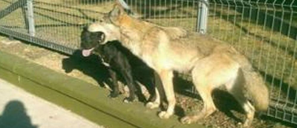 Captan a lobo jugando con perros en bosque de Cdmx