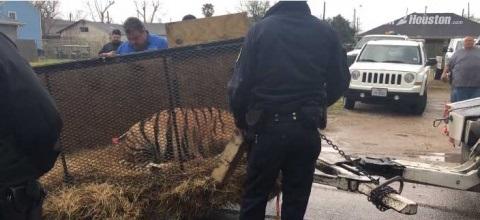 Entró a fumar mota a casa abandonada y… salvó a un tigre