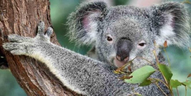 El koala estaría 'virtualmente extinto' y sería nuestra culpa