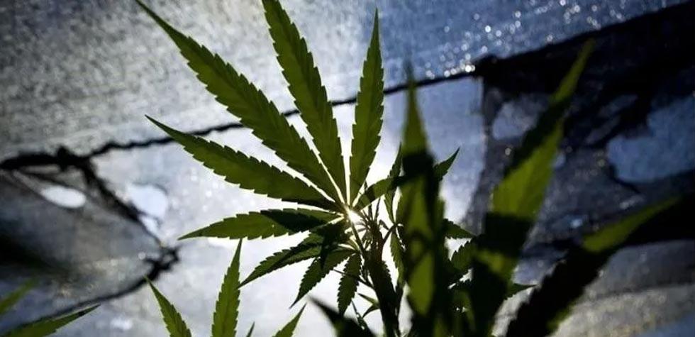 Avanza legalización de la mariguana en el Senado de la República