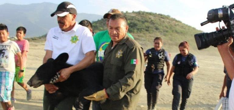 Capturan oso negro en Saltillo (FOTOS)
