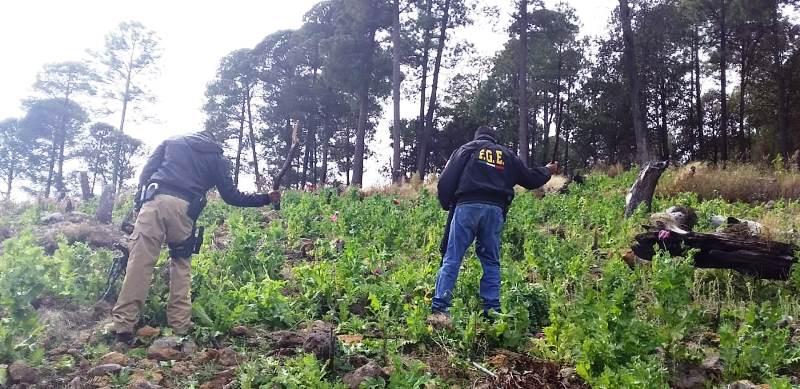 Destruye AEI Zona Sur plantío de amapola en Guadalupe y Calvo