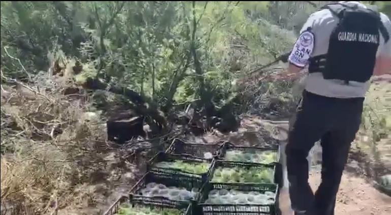 Destruye Guardia Nacional tres narcoplantíos e invernadero en Aldama