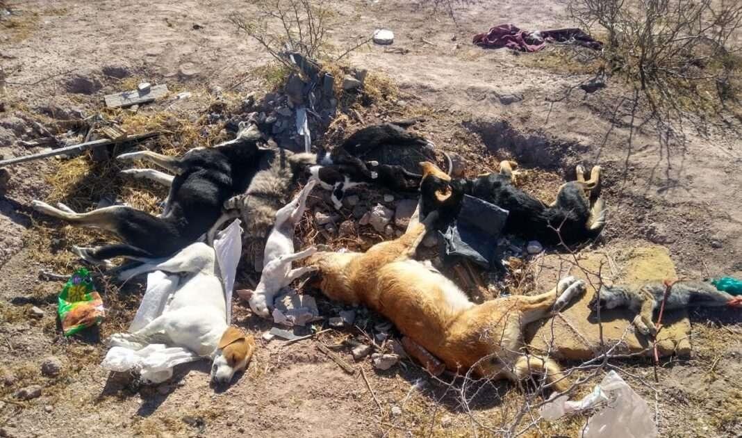 Denuncian envenenamiento masivo de perros en Meoqui