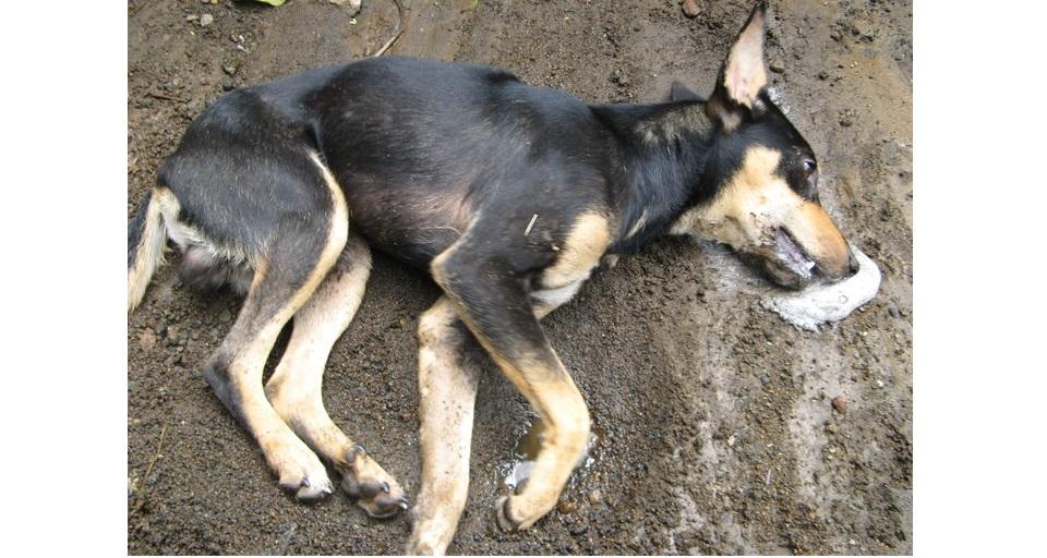 Piden a la Fiscalía investigar envenenamiento de perros y gatos en Parral