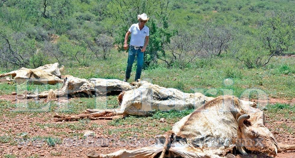 'Se está muriendo el ganado en la región noroeste'