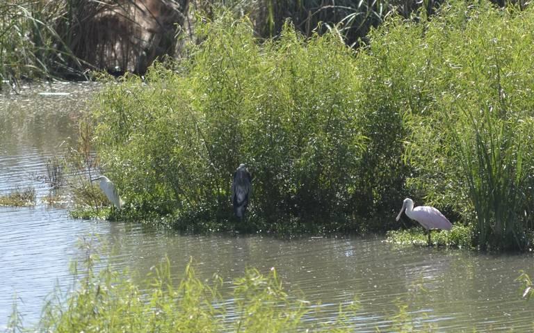 Espátula Rosada, el ave que está de visita en los humedales de Meoqui