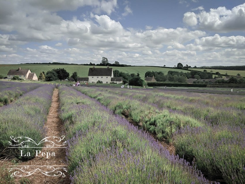 Green Travellers | A Day in Cotswold Lavender Farm 1