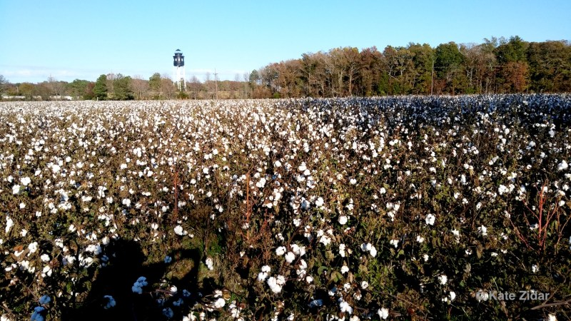 Cotton fields near Cape Charles VA