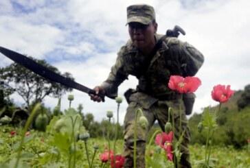 Dossier- Au Mexique, le fentanyl menace les producteurs de pavot à opium ! (Video reportage)