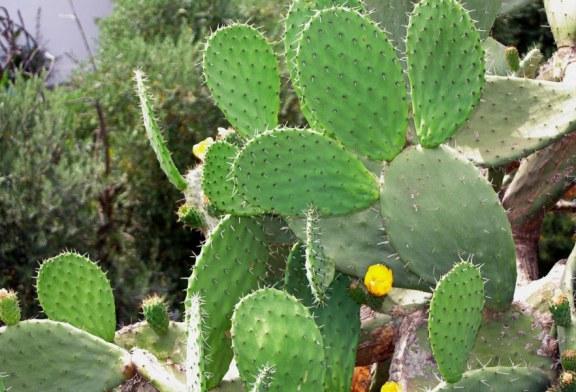 Au Mexique, le cactus pour produire du plastique biodégradable ?
