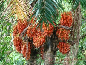 olio di palma 2
