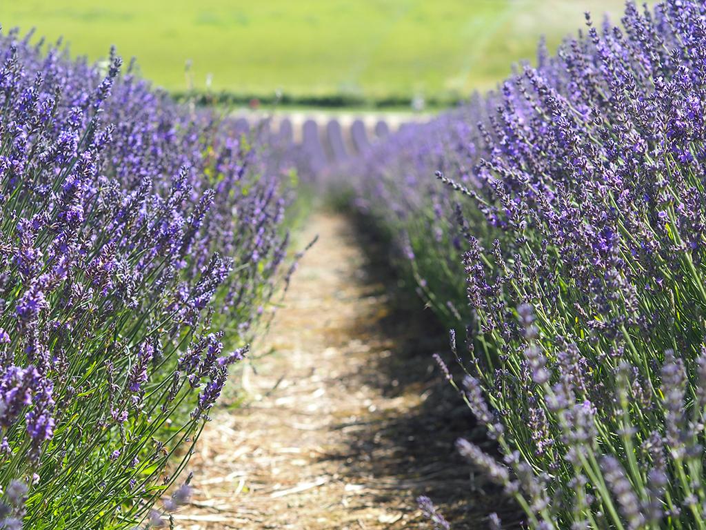 lordington-lavender-5