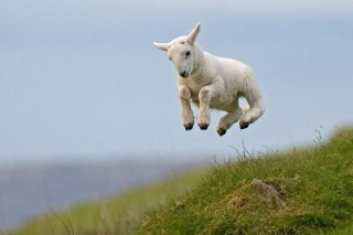 Lambs 4