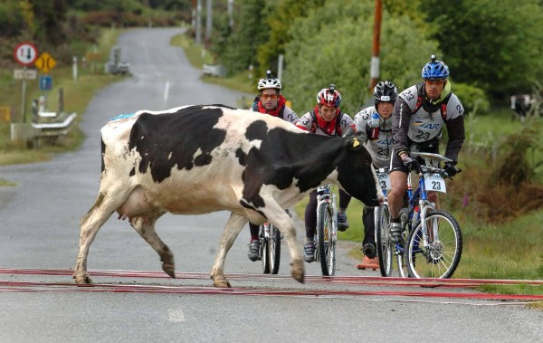 cow-on-d-road