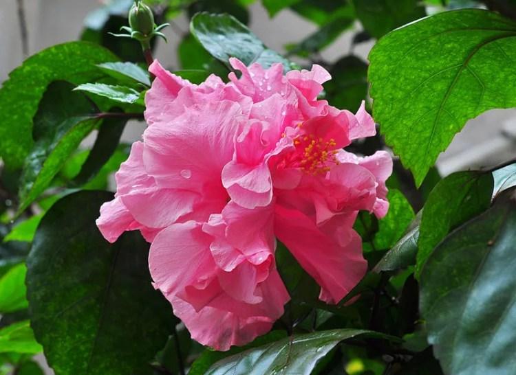double-hibiscus