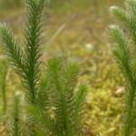 """Licopodium clavatum, pianta denominata anche """"erba strega"""" utile per combattere dermatiti, arrossamenti della pelle e per depurare il fegato."""