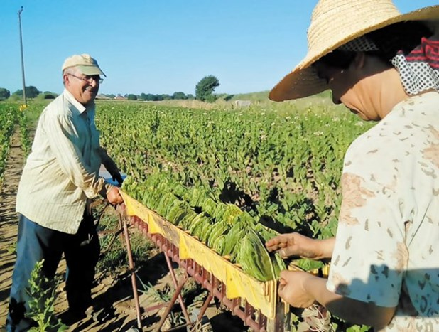 Μικρή αύξηση των καλλιεργειών με καπνό στην Ελασσόνα - Ολοκληρώθηκε η σπορά