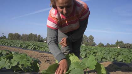 youtube  Among the early victims of the genocide policy being imposed in California are the farm workers, like the one shown here.