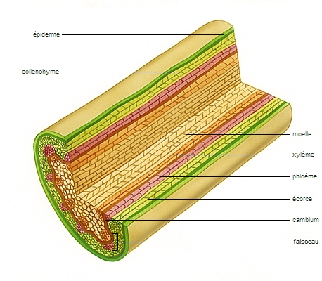 Structure d'une tige de dicotylédone